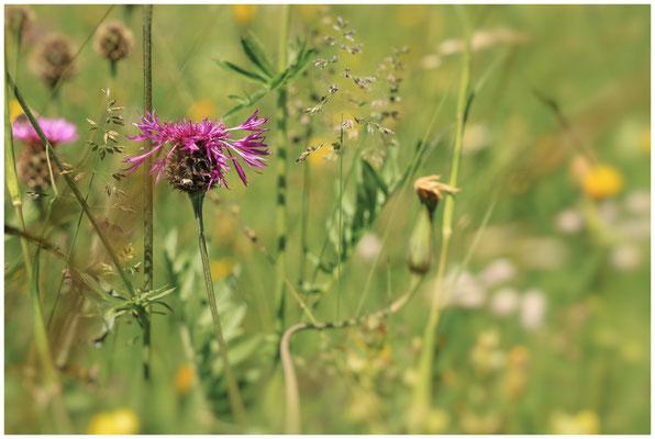 Sommerwiese mit Wiesen-Flockenblume 7485