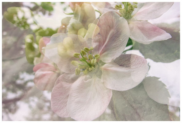 Apfelblüten auf einer Streuobstwiese bei Bermatingen 3503