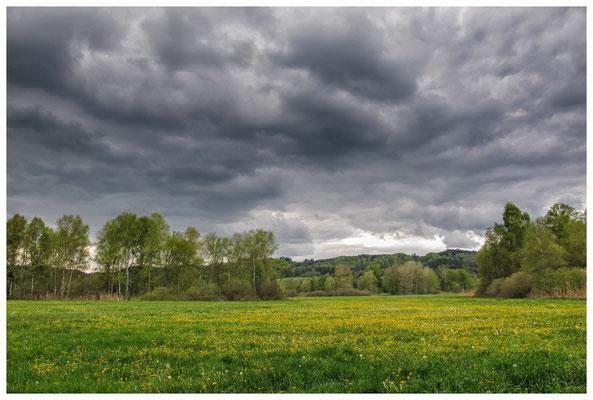 Riedwiesen mit blühendem Löwenzahn 3634