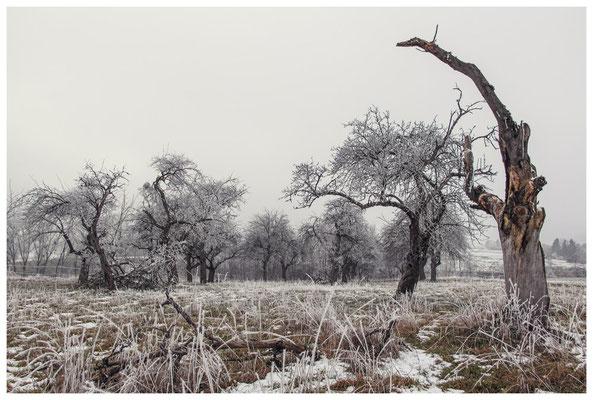 Winterliche Streuobstwiese mit Raureif 2535
