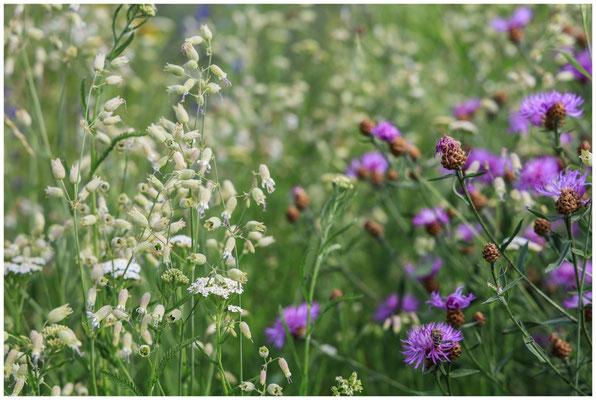 Weiße Lichtnelke und Flockenblume 0064
