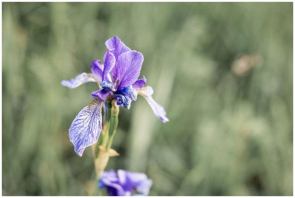 Sibirische Schwertlilie 2993