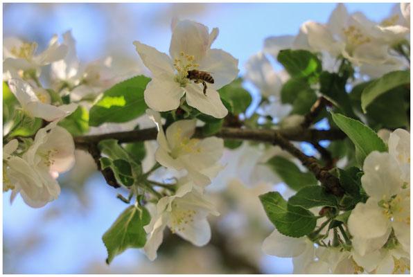 Apfelblüte 2678