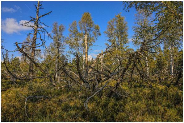 Landschaft mit Totholz am Wildsee 4337