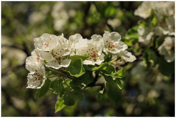 Birnenblüten 2393