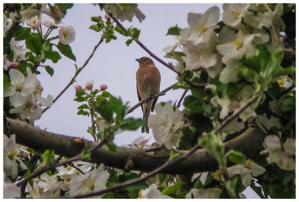 Buchfink auf blühendem Apfelbaum 3453