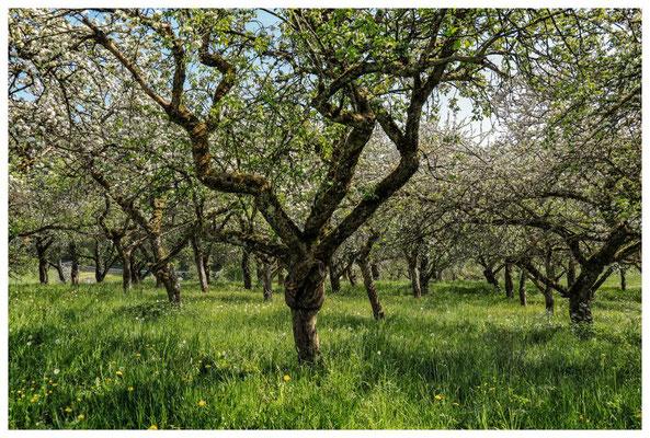 Streuobstwiese mit blühenden Apfelbäumen 2709