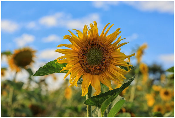 Sonnenblumen 0296