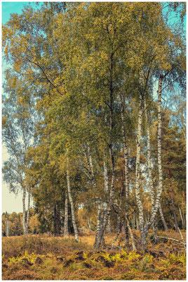 Birken im Schwenninnger Moos 4152