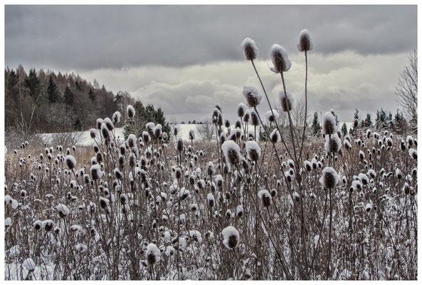 2251 Disteln mit Schneehütchen