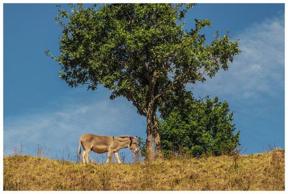 Esel auf Futtersuche 4250