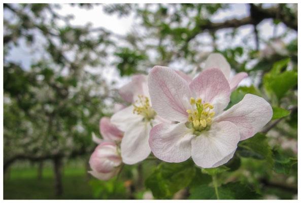 Apfelblüten auf einer Streuobstwiese bei Bermatingen 3500