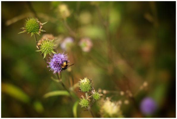 Skabiose mit wespenähnlichem Insekt 8501