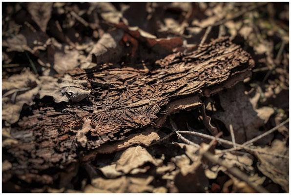 Fraßspuren unter der Baumrinde 6227
