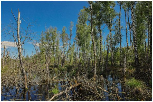 Landschaft mit Totholz und Moorbirken 7330