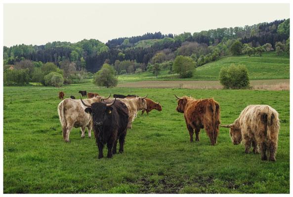 Schottische Hochlandrinder zur Beweidung der Riedwiesen 3639