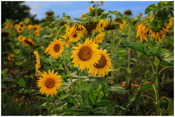 Sonnenblumen 0336