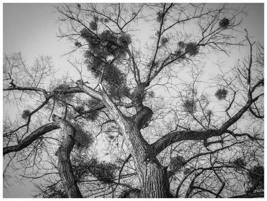 8573 NSG Radolfzeller Aach - Baum mit Misteln