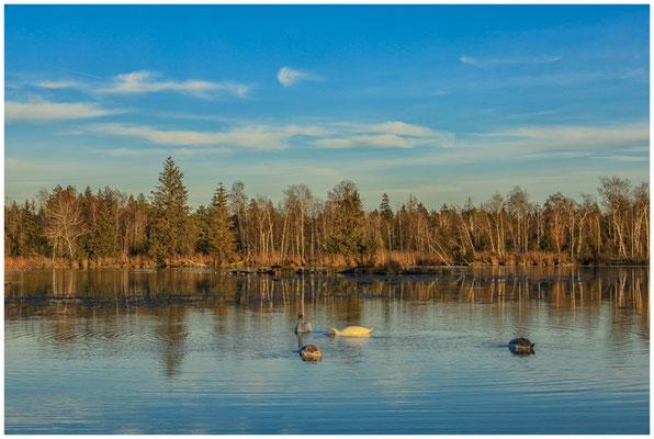Abendstimmung mit Schwänen am Großen Vogelsee 5037