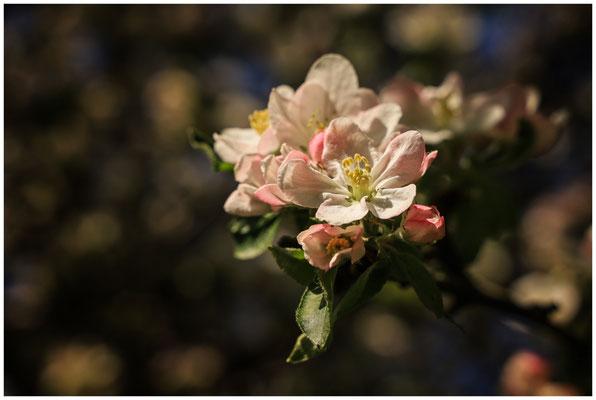 Apfelblüte mit Staubblättern 2456