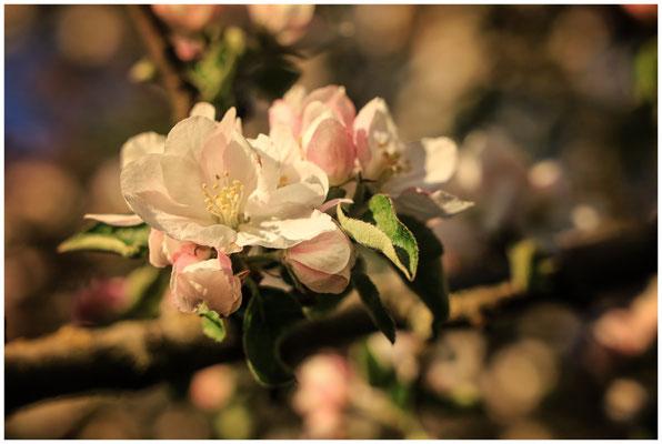 Apfelblüte mit Staubblättern 2497