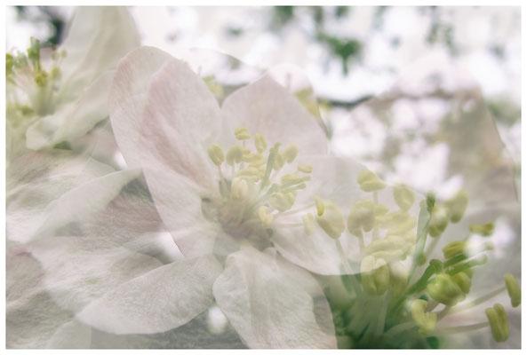 Apfelblüten auf einer Streuobstwiese bei Bermatingen 3492