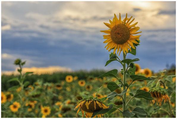 Sonnenblumen 0396
