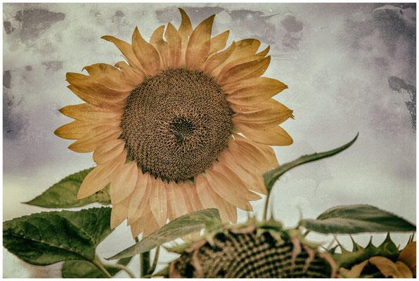 Sonnenblume 0383