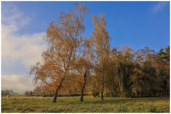 Herbstliche Birken mit Rindern 4791