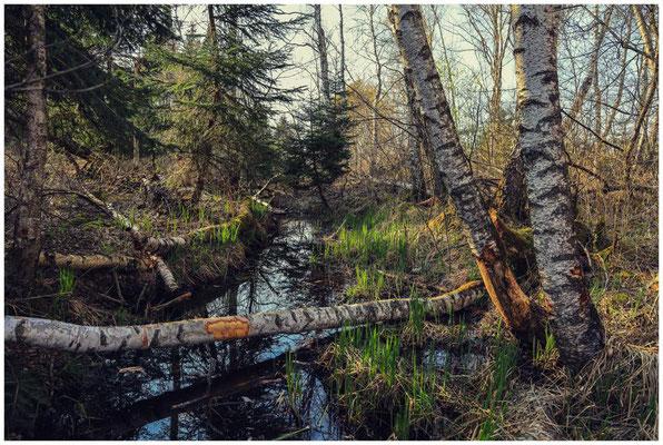 Wassergraben mit Biberspuren an den Birkenstämmen 6660