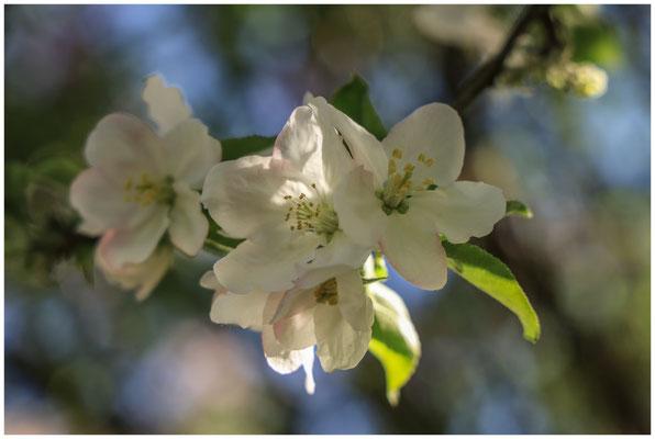 Apfelblüte 2638