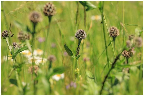Sommerwiese mit verblühten Wiesen-Flockenblumen 7512