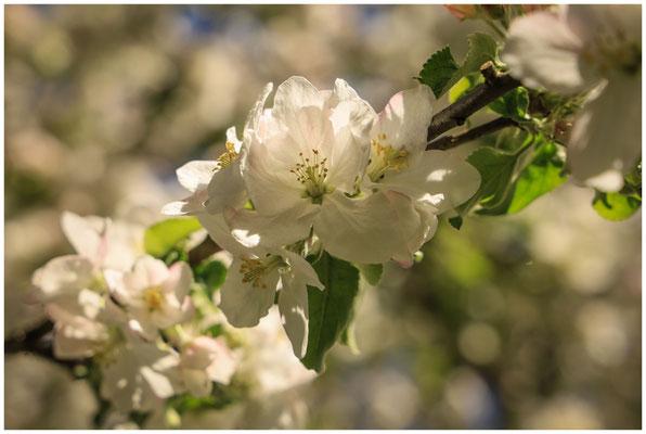 Apfelblüte 2665