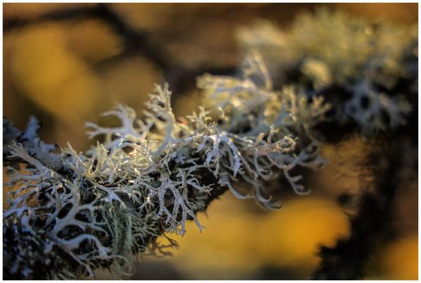 Cladonia portentosa - Strauchflechte 6345