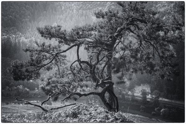 Kiefer oberhalb der Donau 7805