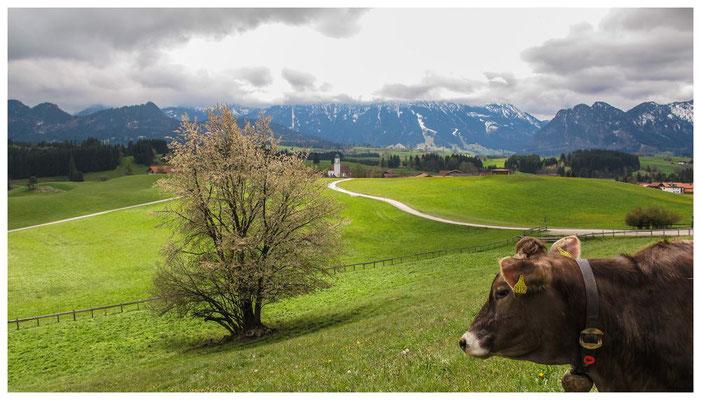 Freundlich und neugierig - die Allgäuer Kühe