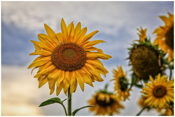 Sonnenblumen 0390
