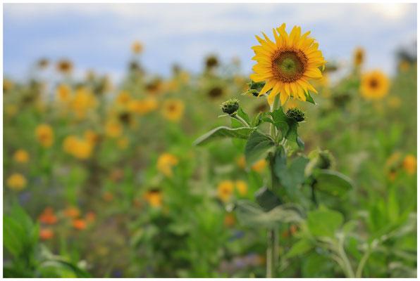 Sonnenblumen 0360