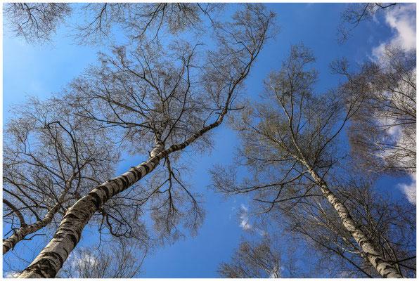 Birken im Pfrunger-Burgweiler Ried 6604