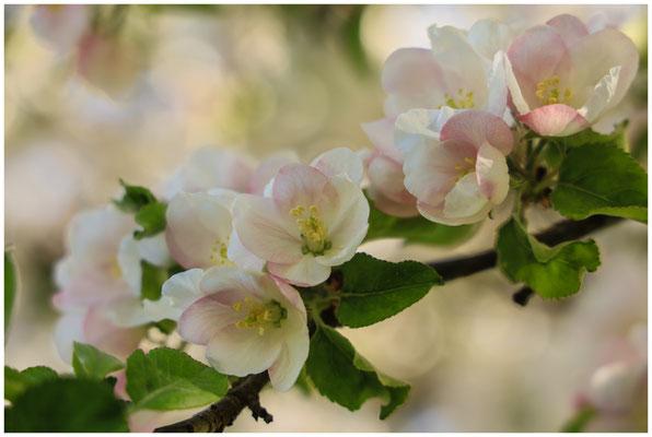 Apfelblüte 2628