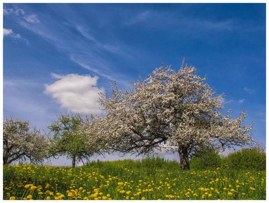 Blühende Obstbäume im Hegau 9026