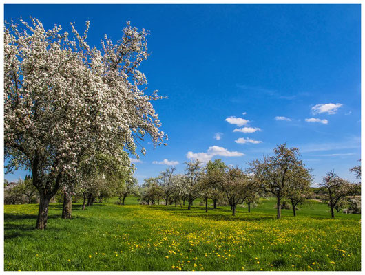 Blühende Obstbäume im Hegau 9054