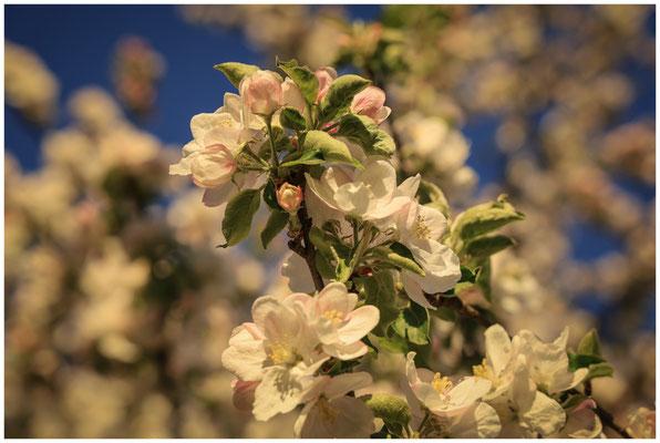 Apfelblüte 2595
