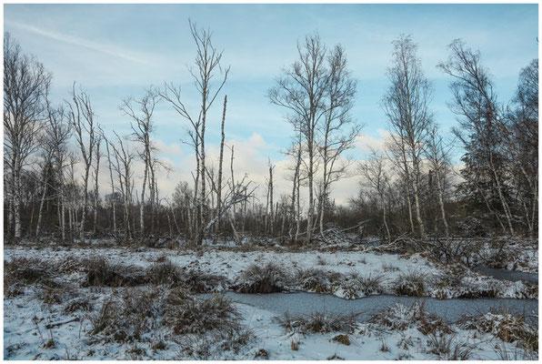 Landschaft mit Birken im Pfrunger-Burgweiler Ried 5537
