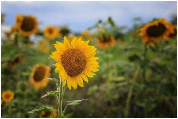 Sonnenblumen 0356