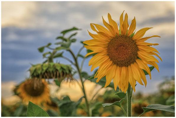 Sonnenblumen 0403