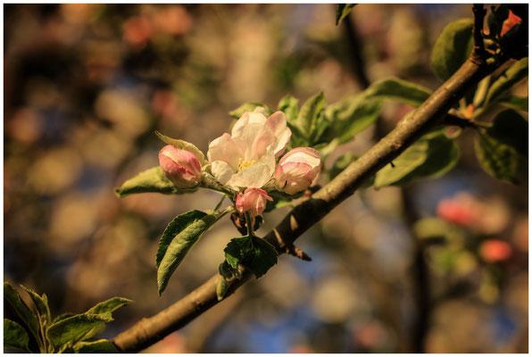 Apfelblütenzweig 2507