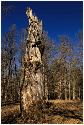 Bäume im Unterhölzer Wald 6185