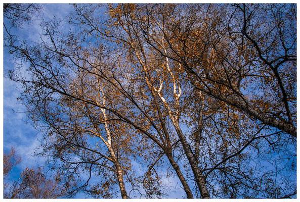 1826 Herbstliches Birkenlaub