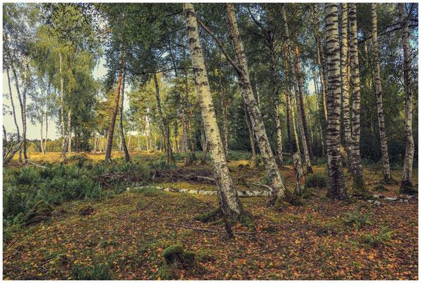 Birken- und Fichtenwald im Schwenninger Moos 4164